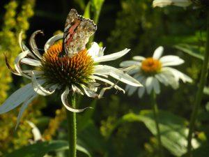 Papillon sur fleur des champs
