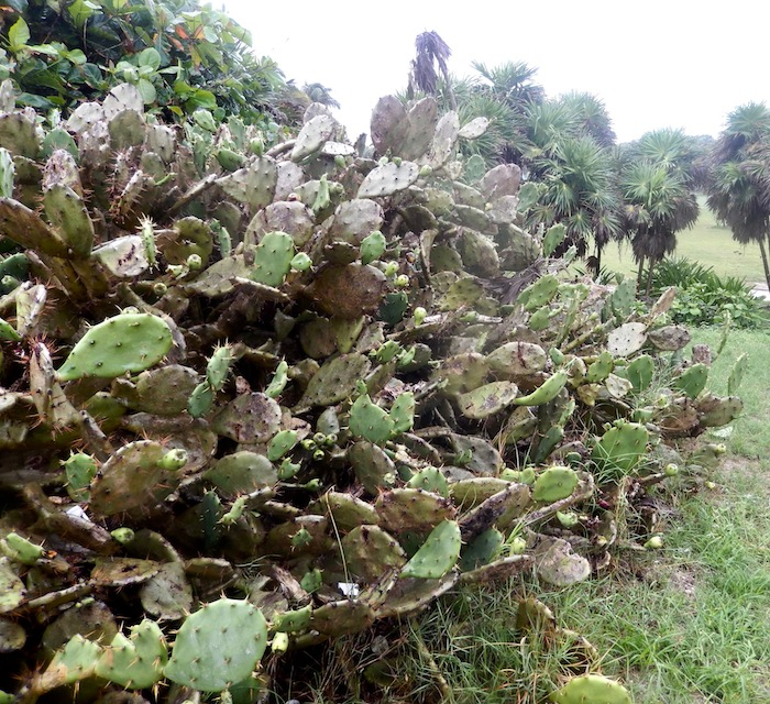 Massif de cactus