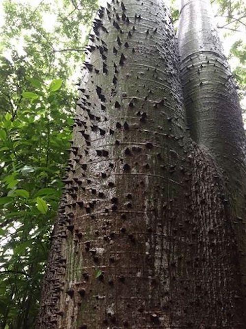 Ceiba, arbre sacré maya