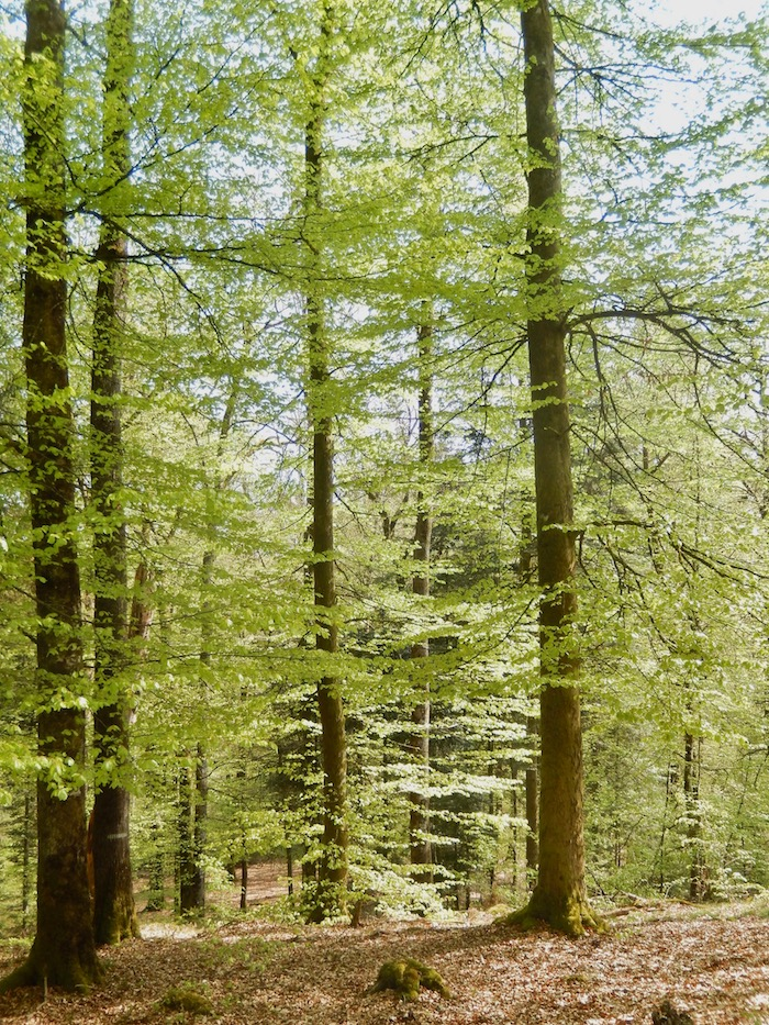 Forêt en la Vôge
