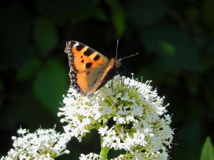 Papillon cascadeur